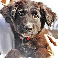 Adopt A Pet :: Cupid *Chrissie's Puppy* - Gretna, NE