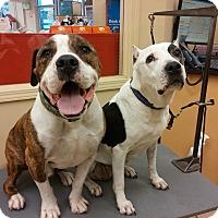 Adopt A Pet :: Nytris - Los Angeles, CA