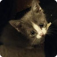 Adopt A Pet :: Blaze - Garland, TX