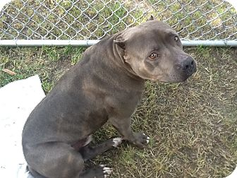American Staffordshire Terrier Mix Dog for adoption in Valley Village, California - Yogi