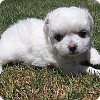 Adopt A Pet :: Monica - La Habra Heights, CA