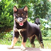 Adopt A Pet :: Kaya - Manassas, VA
