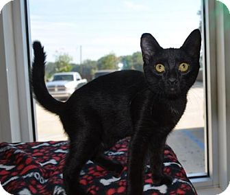 Domestic Shorthair Cat for adoption in New Iberia, Louisiana - Pierre