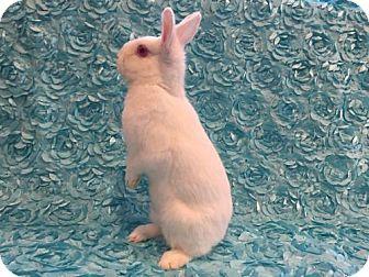 Florida White for adoption in Columbus, Ohio - Pheobe