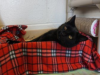 Domestic Shorthair Cat for adoption in Mt Vernon, New York - Lilly 'Hmm...Quirky!'