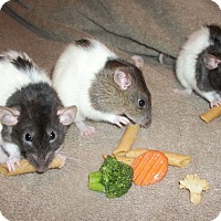 Rat for adoption in Belton, Texas - Bambi, Mackenzie and Perdita