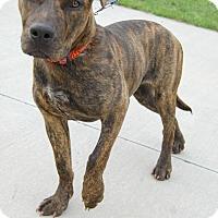 Plott Hound/American Bulldog Mix Dog for adoption in Marysville, Michigan - Cecily