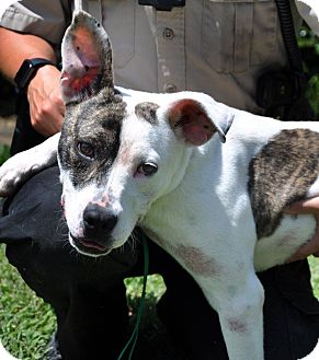 American Bulldog Mix Puppy for adoption in Hopewell, Virginia - Marcela