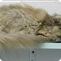 Adopt A Pet :: Miss Kitty - Topeka, KS