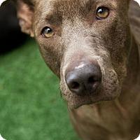 Terrier (Unknown Type, Medium)/Weimaraner Mix Dog for adoption in Mt Pleasant, South Carolina - Blue