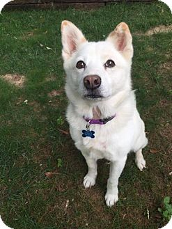 Shiba Inu/American Eskimo Dog Mix Dog for adoption in Whitewright, Texas - Princess