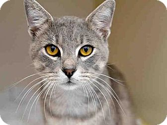 Domestic Mediumhair Cat for adoption in Pittsburgh, Pennsylvania - NICKY