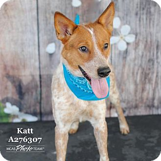 Australian Cattle Dog Dog for adoption in Conroe, Texas - KATT