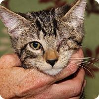 Domestic Shorthair Cat for adoption in Marietta, Ohio - Berlioz (Neutered)