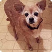 Chihuahua Dog for adoption in Melville, New York - Daisy Mae