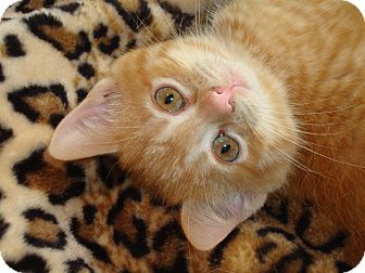 Domestic Shorthair Kitten for adoption in Fort Atkinson, Wisconsin - Killian