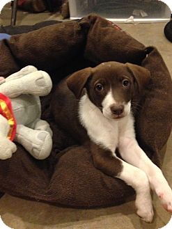 Border Collie/Labrador Retriever Mix Puppy for adoption in Washington DC, D.C. - Rarity