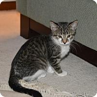 Adopt A Pet :: Ivy - Middleton, WI