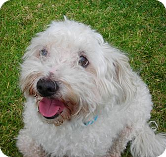 Bichon Frise Dog for adoption in El Cajon, California - Charlie