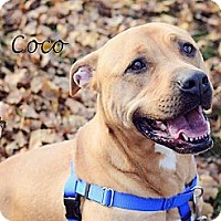 Adopt A Pet :: Cocoa - Chicago, IL