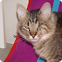 Adopt A Pet :: Pirate - wonderful cat!! - Scottsdale, AZ