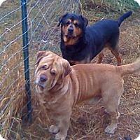 Adopt A Pet :: Zeus - Chewelah, WA