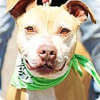 Adopt A Pet :: Diamond - East Orange, NJ