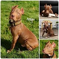 Adopt A Pet :: Atlas - Sioux Falls, SD