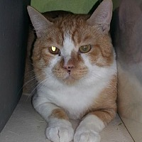 Domestic Shorthair Cat for adoption in Tucson, Arizona - Gus