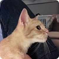 Domestic Mediumhair Cat for adoption in Atlanta, Georgia - Cattington