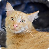 Domestic Mediumhair Cat for adoption in Apopka, Florida - Garfield