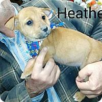 Adopt A Pet :: Heather - Albany, NY