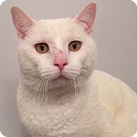 Adopt A Pet :: Valentino - Merrifield, VA