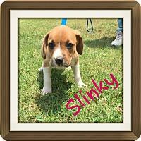 Adopt A Pet :: Slinky (POM dc) - Harrisonburg, VA