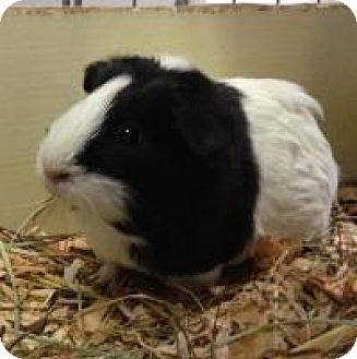 Guinea Pig for adoption in Quilcene, Washington - Pepper