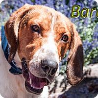 Adopt A Pet :: Baron - Hamilton, MT