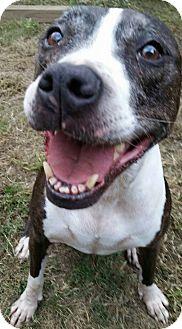 Labrador Retriever/Pit Bull Terrier Mix Dog for adoption in SEattle, Washington - Shasta