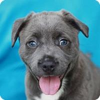 Adopt A Pet :: Blake - ADOPTION IN PROGRESS - Bedminster, NJ