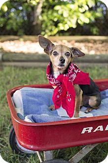 Chihuahua Dog for adoption in Livonia, Michigan - Poppy