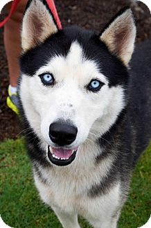 Siberian Husky Dog for adoption in Roswell, Georgia - Rio