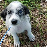 Adopt A Pet :: Kit - Bradenton, FL