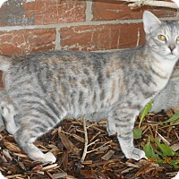 Domestic Shorthair Cat for adoption in haslet, Texas - ava