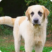 Great Pyrenees Mix Dog for adoption in Westport, Connecticut - The Rock!!  NEW VIDEO