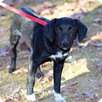 Adopt A Pet :: HERBIE THE LOVE BUG - Franklin, TN