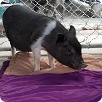 Pig (Potbellied) for adoption in Dickinson, Texas - Vienna