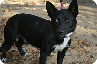 Corgi/Husky Mix Dog for adoption in Kinston, North Carolina - Axle