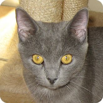 Russian Blue Kitten for adoption in Hamilton, New Jersey - LUCY