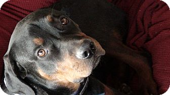 Rottweiler Puppy for adoption in Gilbert, Arizona - Tatum