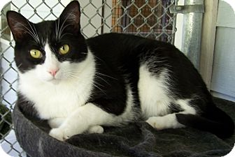 Domestic Shorthair Cat for adoption in Grants Pass, Oregon - Sprite