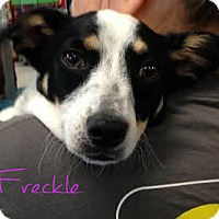Adopt A Pet :: Freckle - House Springs, MO